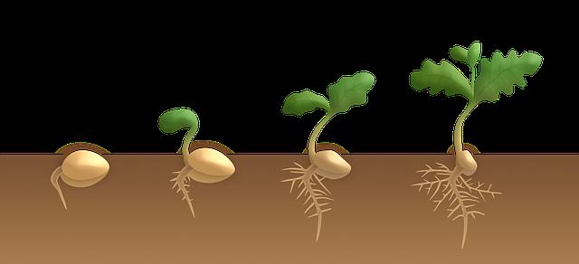 klíčení dubu, dvouděložná rostlina